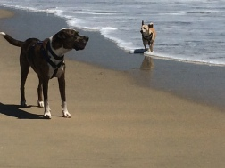 Another Murphy and Billy in the HB Dog Beach surf
