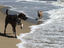 Murphy and Billy in the HB Dog Beach surf
